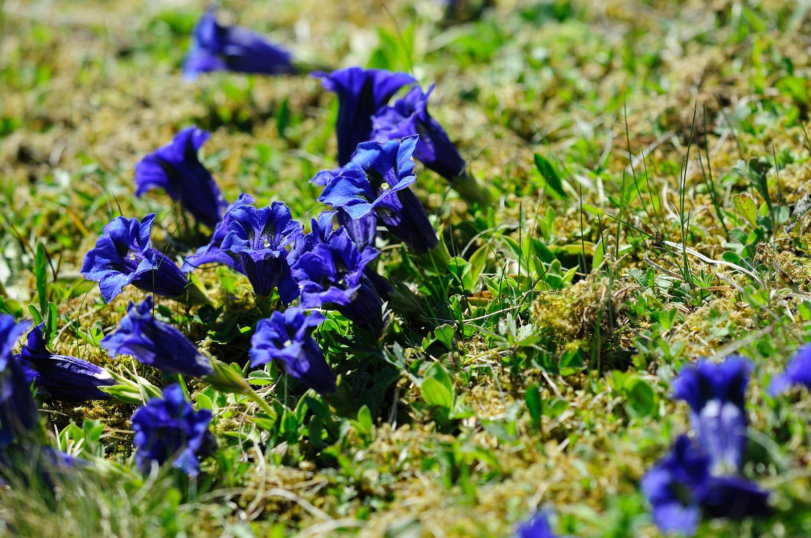 den so blau, blau, blau blüht der Enzian......