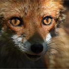 Den tiefen Blick in Foxis Augen ...