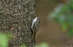 Den Waldbaumläufer ...