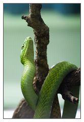 Dendroaspis viridis immer noch appe