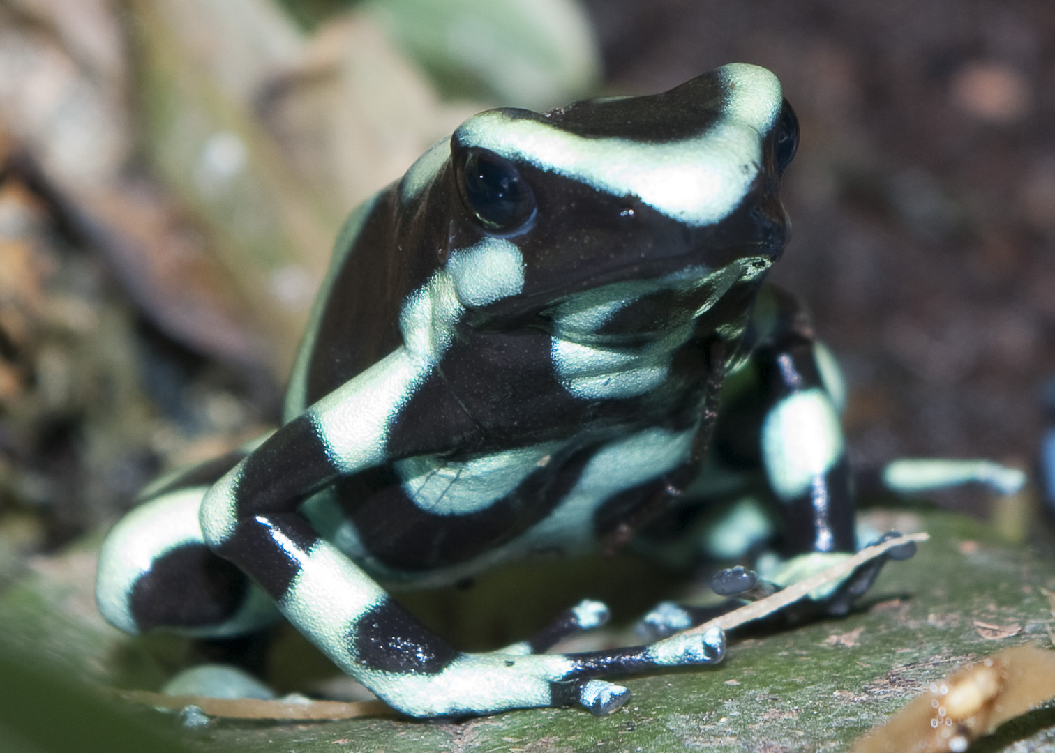 dendrobate auratus 1
