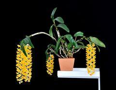 Dendrobium densiflorum in voller Blüte