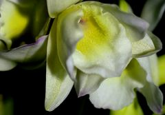 Dendrobium nobile (kleine Orchideenblüten)