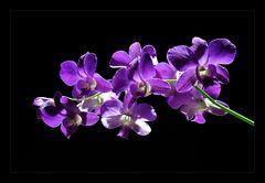 Dendrobium phalaenopsis bei Nacht