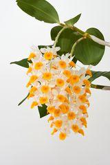 Dendrobium thyrsiflorum 2
