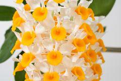 Dendrobium thyrsiflorum 3