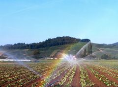 Denzlingen: Buchholzer Erdbeeren brauchen Wasser