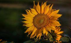 Der Abendtanz einer Sonnenblume...
