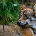 """""""Der ach so böse Wolf"""""""