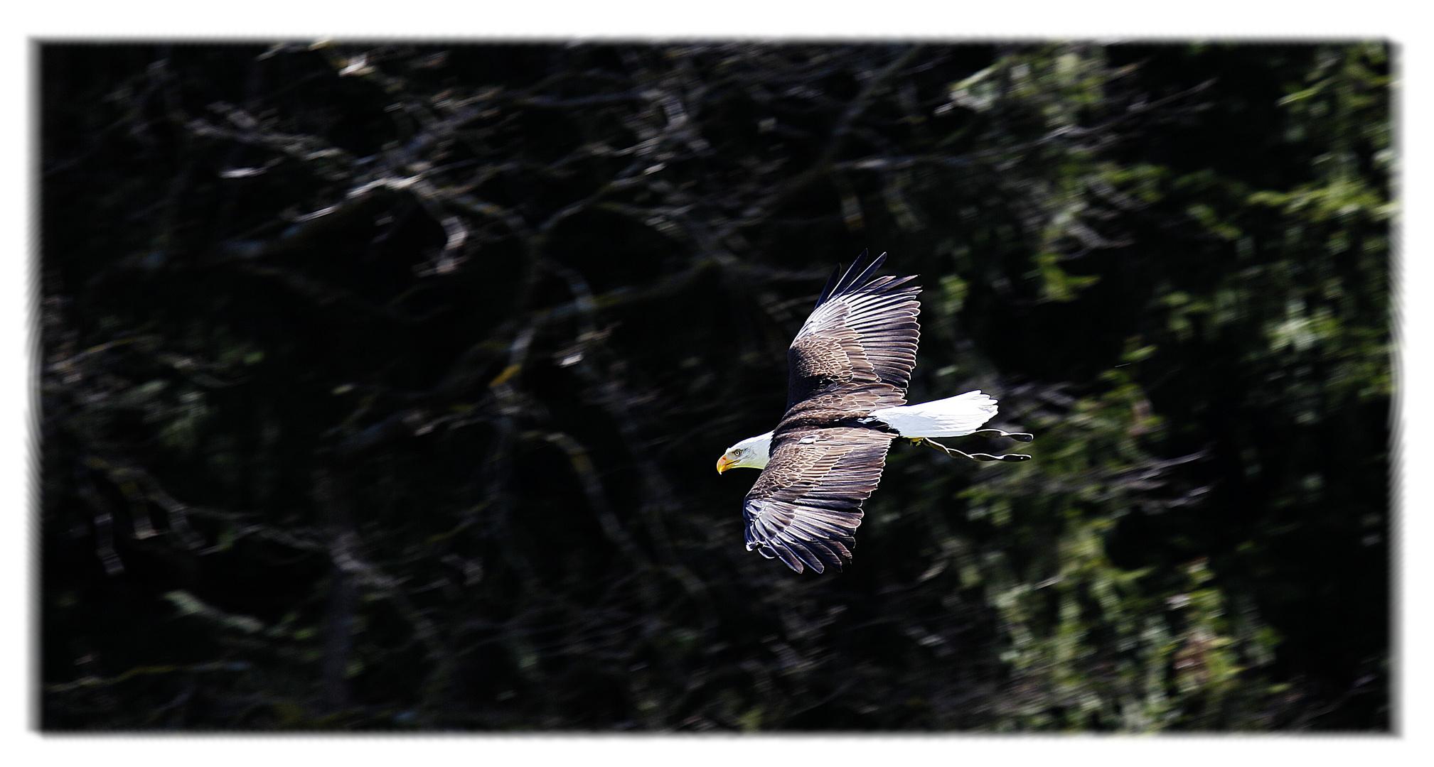 Der Adler flying Sam