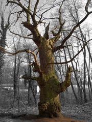 Der älteste Baum Berlins