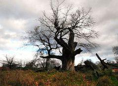 Der älteste Baum von Potsdam