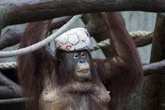 Der Affe als Model