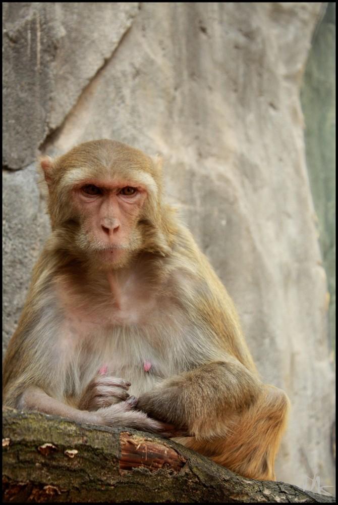 Der Affe.