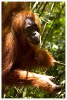 Der Affe im Zoo über die Besucher: Wie gut, daß sie alle hinter Gittern sind. (a. d. Simplizissimus)