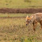 Der Afrikanische Goldwolf....