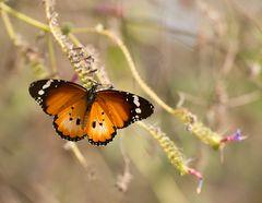 der afrikanische Monarch (Männchen)