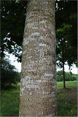 Der Ahorn-Baum war voller Flechten!