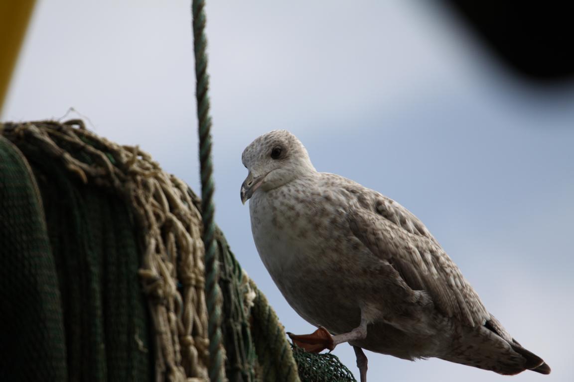 Der Albatross