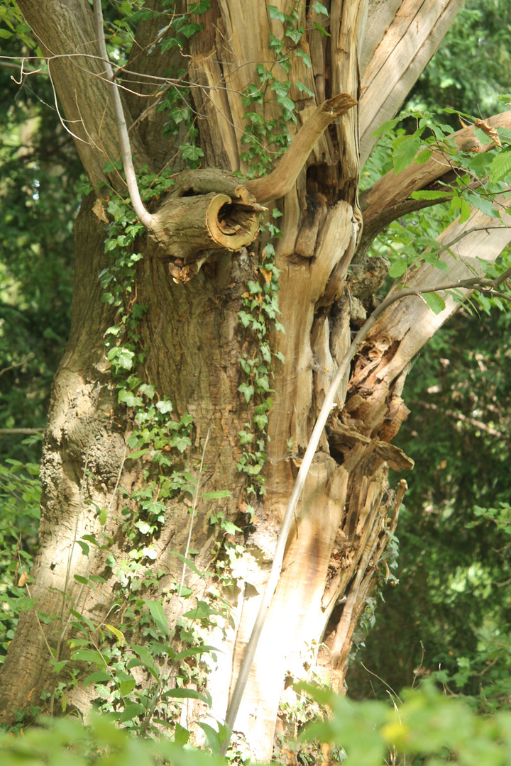 Der alte Baum !!