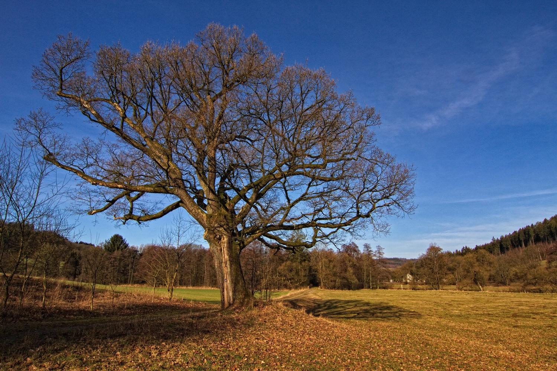 Der alte Baum