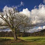 Der alte Baum ......