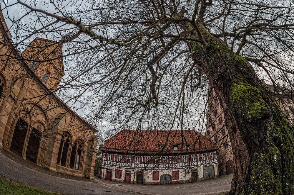 der alte Baum im Kloster Maulbronn