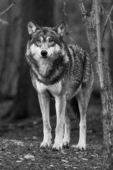 Der alte graue Wolf ...