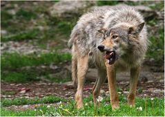 """""""Der alte hungrige Wolf"""""""