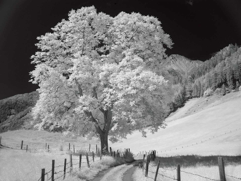 Der alte Nussbaum