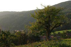 Der alte Obstbaum