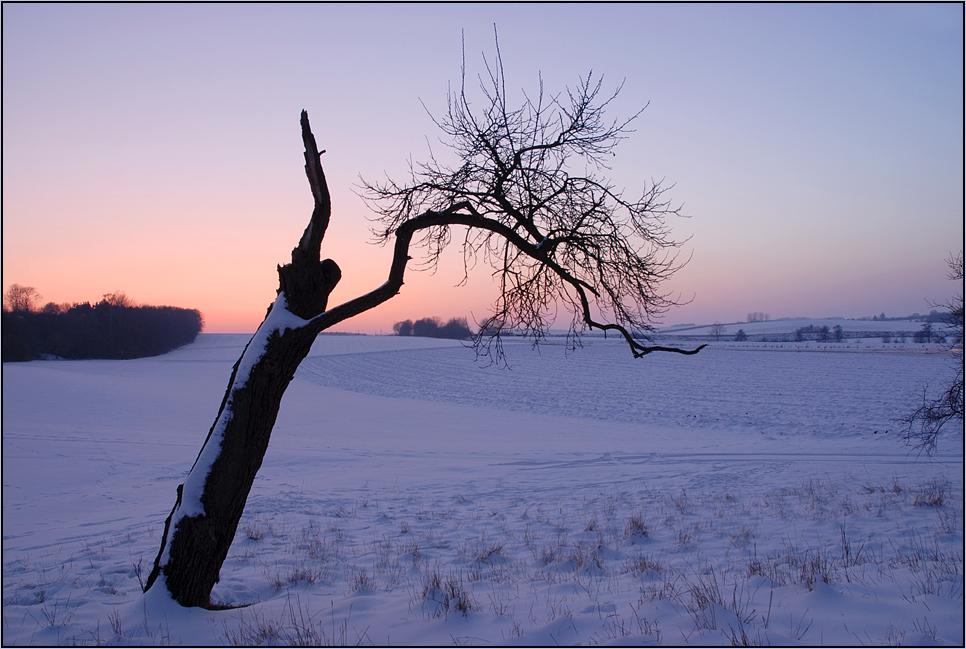 Der alte Pflaumenbaum