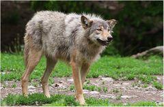 """""""Der alte räudige Wolf...."""""""