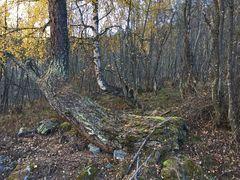 Der alte Wald, in dem ich die Knochen gefunden habe... La forêt des mystères!