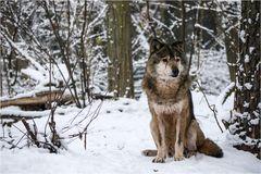 Der alte Wolf sieht müde aus...