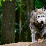 Der alte Wolf und der Wald