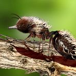 Der Ameisenigel