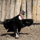 Der Andenkondor genießt die Sonne