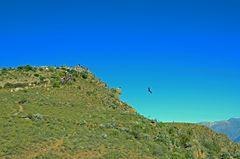Der Andenkondor im Flug über dem Colca-Canyon (2)
