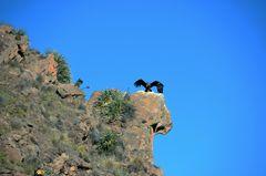 Der Andenkondor vom Aussichtspunkt Cruz del Condor