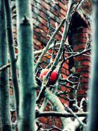 der Apfel im Kloster Garten
