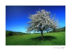 ~Der Apfelbaum~
