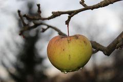 Der Apfelernte entgangen