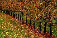 Der Apfelherbst ist jetzt auch in der Merzischer Äppelkischd vorbei. ...