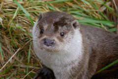 der Aufmerksame Otter