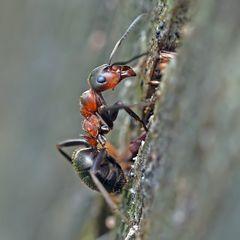 Der Aufstieg! Rote Waldameise (Formica rufa)