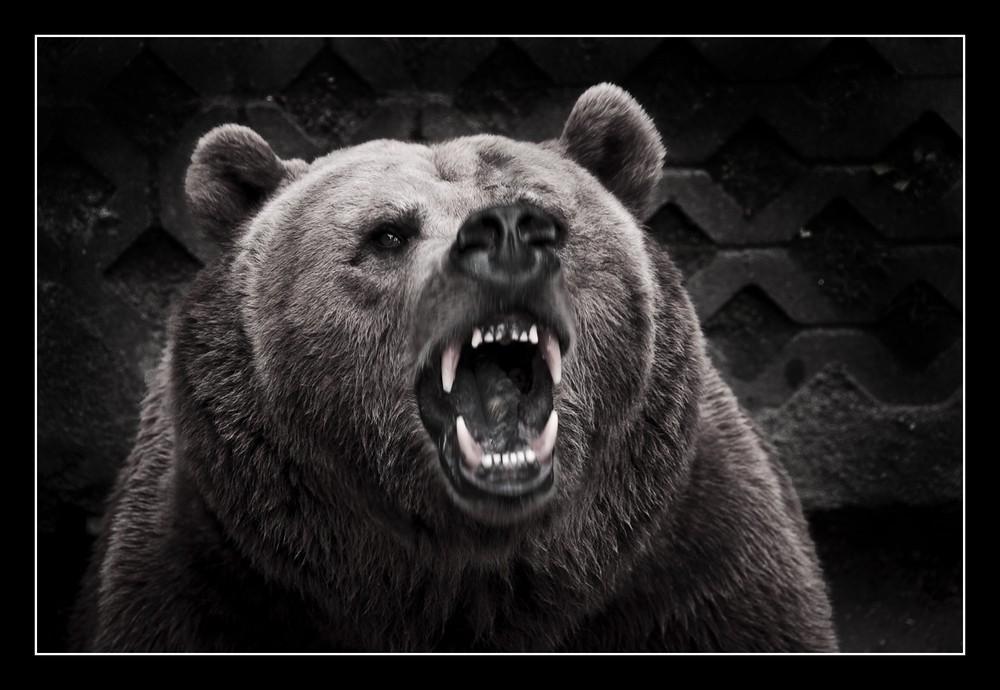 Zähne Bär