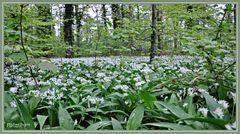 Der Bärlauch (Allium ursinum)