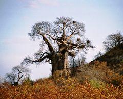 Der Baobab-Baum