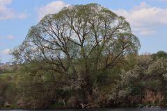 Der Baum an der Eder